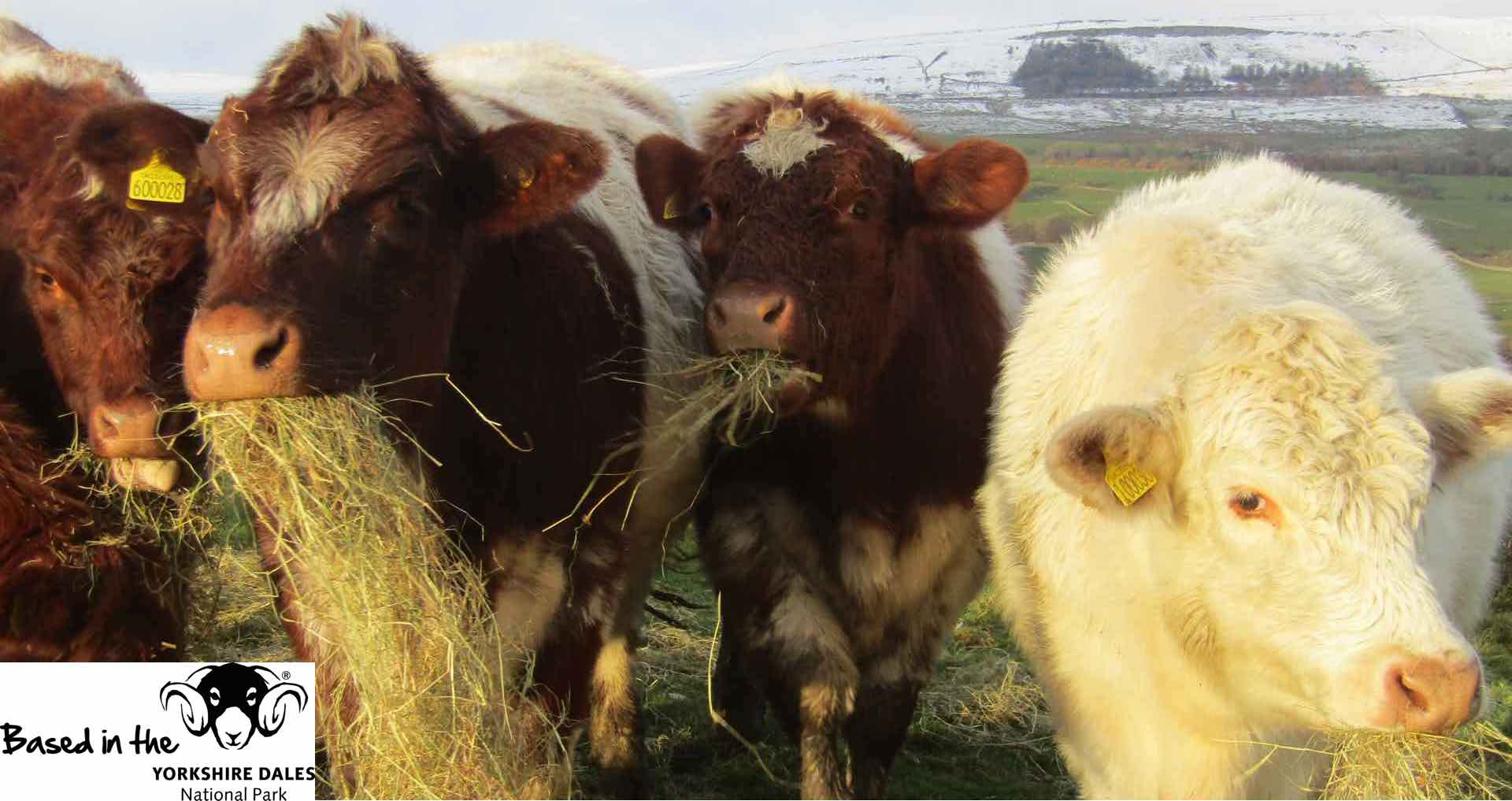 Beef Shorthorn Cattle